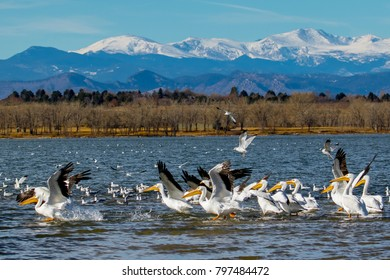Wildlife at Cherry Creek State Park in suburban Denver, Colorado - migrating American white pelicans with Rocky Mountains in background.