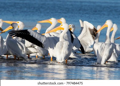 Wildlife at Cherry Creek State Park in suburban Denver, Colorado - migrating American white pelican on the reservoir