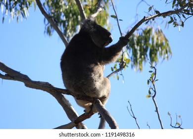 wildlife coala australia