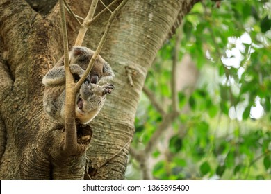 Wildlife Coala in a Tree