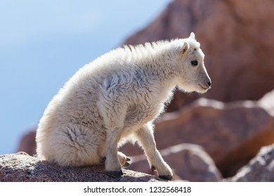 Wildlife of Colorado - Wild Mountain Goats on Colorado Mountain Peaks.