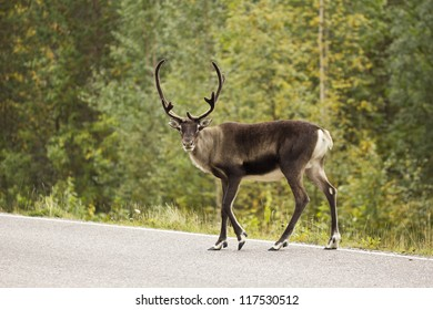 Wildlife crossing the road - a wild rein deer on a high traffic road from the Scandinavian countryside