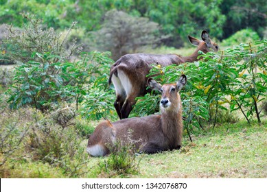 Wildlife in eastern Africa. Antelopes waterbuck in the tropical forest near Naivasha Lake