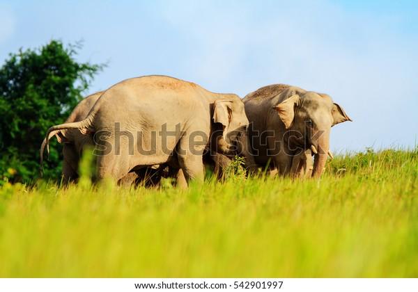 wildlife Elephant in Khoayai National park Nakornratsima city thailand