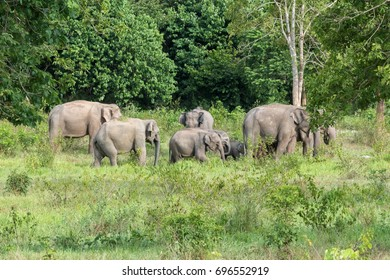 Wildlife of family Asian Elephant walking and looking grass for food in forest. Kui Buri National Park. Thailand.