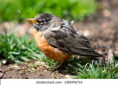 Wildlife Fauna Birds Red Orange American Robin Juvenile