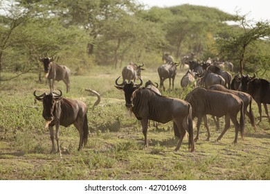 Wildlife great migration in the african savanna