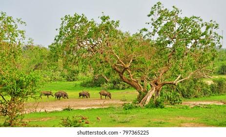 Wildlife: Herd of boars seen during safari ride in Yala National Park, Sri Lanka