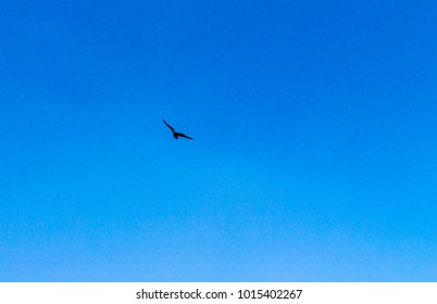 Wildlife Himachal Pradesh - A black bird in the clear blue sky of Kasauli, India.