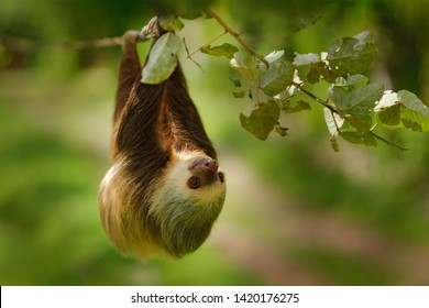 Wildlife in jungle. Sloth in nature habitat. Beautiful Hoffman's Two-toed Sloth, Choloepus hoffmanni, climbing on the tree in dark green forest vegetation. Cute animal in the habitat, Costa Rica.