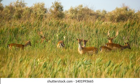 Wildlife landscape - herd of wild fallow deer (Dama dama) in the steppe thickets on hot summer day