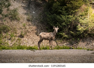 Wildlife mammal - beautiful wild mountain goat buck