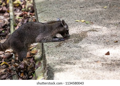 Wildlife in Manuel Antonio National Park in Costa Rica, a wild raccoon drinking water off the side walk after a tourist spilled some out of his bottle.
