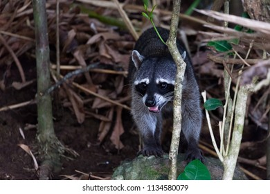 Wildlife in Manuel Antonio National Park in Costa Rica, a wild raccoon standing on a rock and panting in the jungle looking for water on a hot day.