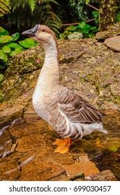 Wildlife Nature White Gray Goose Duck Lake