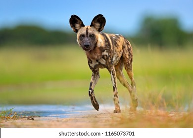 Wildlife from Okavango delta, Botswana, Africa. African wild dog, walking in the water on the road. Hunting painted dog with big ears, beautiful wild animal.