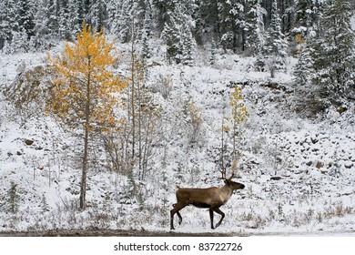 Wildlife on Alaska Highway