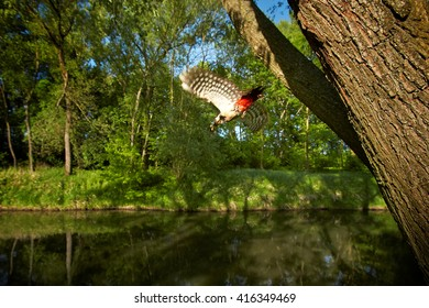 Wildlife photo of forest bird, Dendrocopos major, Great Spotted Woodpecker female flying from its nest hole in tree over the river in colorful spring forest. Czech republic, Europe.