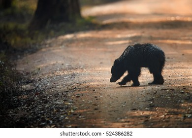 Wildlife photo of  sloth bear, Melursus ursinus, crossing the road of Wilpattu national park, Sri Lanka.