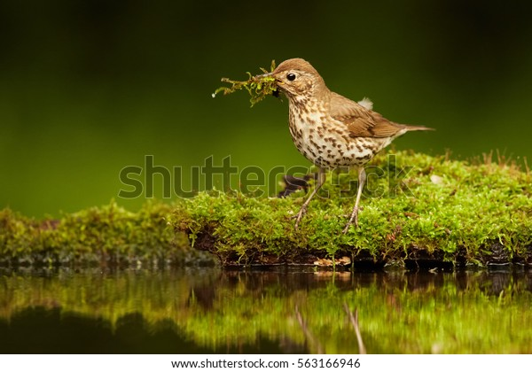 Wildlife photo of  Song Thrush, Turdus philomelos gathering moss for its nest. Late spring in deep european forest. Hot summer. Hide photogrpahy, Hungary.