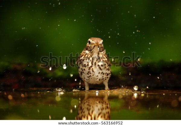 Wildlife photo of  Song Thrush, Turdus philomelos enjoying bath in deep european forest. Hot summer. Bather bird in water against dark green background. Hide photogrpahy, Hungary.