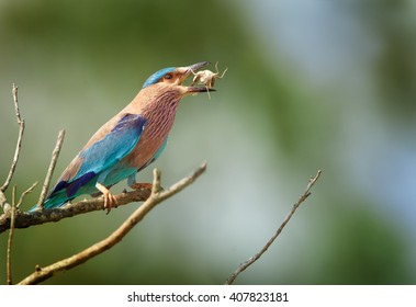 Wildlife photo of sparkling blue and violet bird, Indian Roller,  Coracias benghalensis with prey in its beak against blue and green abstract background. UdaWalawe national park,Sri Lanka.