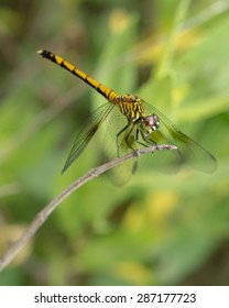 A wildlife photograph of a yellow and black dragonfly on a twig found at Bombay Hook in Smyrna Delaware.