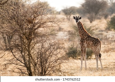 wildlife photography of baby giraffe standing and looking at camera at etosha in the early morning like with autumn-like colors - africa - namibia