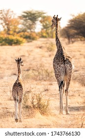 wildlife photography of baby giraffe strolling with her motherin etosha in the early morning like with autumn-like colors - africa - namibia