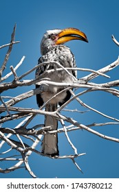 wildlife photography bird photography of perched hornbill in africa with blue sky as a background