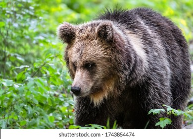 Wildlife photography of brown bear portrait close-up take in the slovenian woods - europe