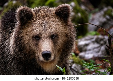 Wildlife photography of brown bear in the slovenian woods beautiful close up and looking up in the camera