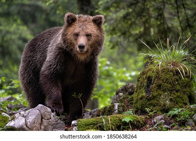 wildlife photography of brown bear in the slovenian forest intensely looking at camera
