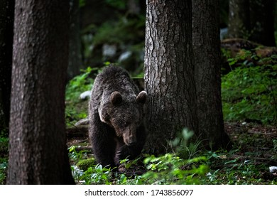 wildlife photography of brown bear taken in the slovenian wood at the edge of the night