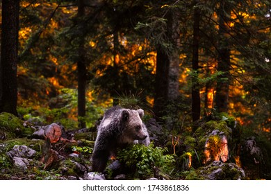 Wildlife photography of brown bear taken in the slovenian wood in europe with dramatic sunset burning the forest in the background