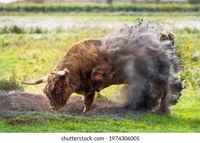 wildlife photography of irish bull cow dropping fresh earth on his back producing a spectacular earth splash