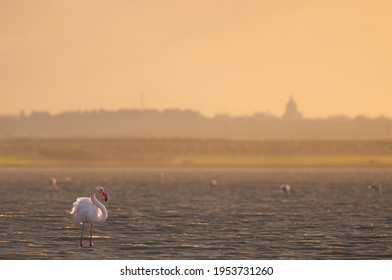 wildlife photography of lonely flamingo in the salt pans of santa margherita di Savoia (italy) in a warm sunset light