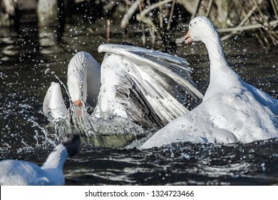 Wildlife photography.Two male gooses fighting for territory  splashing water around during mating season in british lake in springtime.Animals in action.Low key nature image.