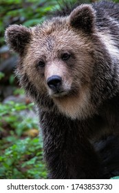 Wildlife photography portrait of wild brown bear looking at camera taken in Slovenian wood central Europe