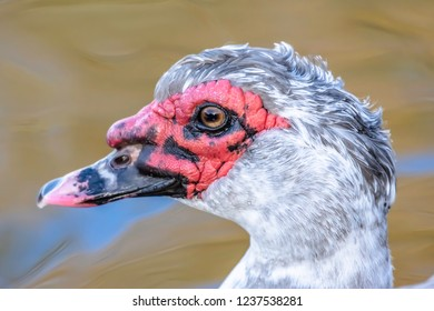 Wildlife photography UK.Close up portrait of muscovy duck swimming in lake with blurred water in background.Nature details.Waterbird profile headshot.