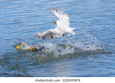 Wildlife photography Uk.Seagull chasing the duck trying to get away with piece of bread in beak thrown by people feeding birds.Waterbirds in action.
