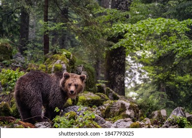 Wildlife photography of wild brown bear in the slovenian forest in europe looking at camera