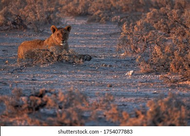 wildlife photography of young lion looking at camera while enjoying last rays of light of the day - africa - etosha