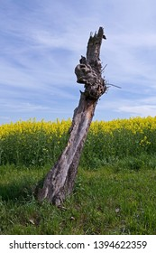 Wildlife / Ponitz / Germany: Tree trunk fragment of a dead tree at the edge of a blooming rapeseed field in Eastern Thuringia as an ideal nesting place for large carpenter bees