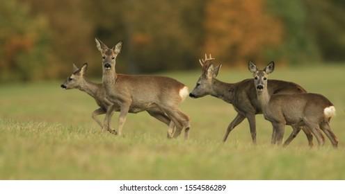 wildlife scene from autumn nature.   Herd roe deers standing on meadow. Deer in the nature habitat. Capreolus capreolus. Wildlife scene from czech nature.