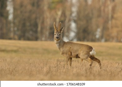 Wildlife scene with deer, Czech. Roe deer, Capreolus capreolus, walking in the grass. roe in a natural habitat.