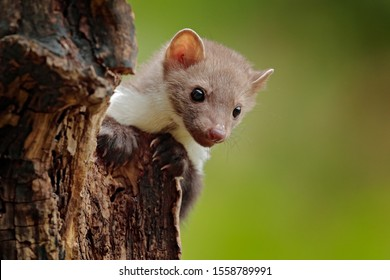 Wildlife scene from Germany.  Beautiful cute forest animal. Beech marten, Martes foina, with clear green background. Small predator sitting on the tree trunk in forest.