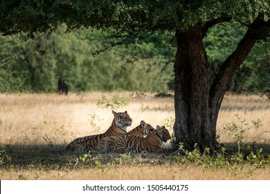 Wildlife scene of Mother Tiger Ladali or T8 and her cubs are under shadow or shade of big tree during one morning safari at Ranthambore National Park, Rajasthan, India - Panthera Tigris Tigris
