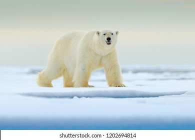 Wildlife scene from nature. Dangerous bear walking on the ice, beautiful evening sky. Polar bear on drift ice edge with snow and water in Norway sea. White animal in the nature habitat, Europe.