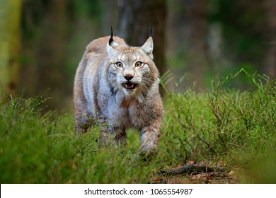 Wildlife scene from nature. Walking Eurasian lynx. Wild cat from Germany. Bobcat among the trees. Hunting carnivore in autumn grass. Lynx in green forest.